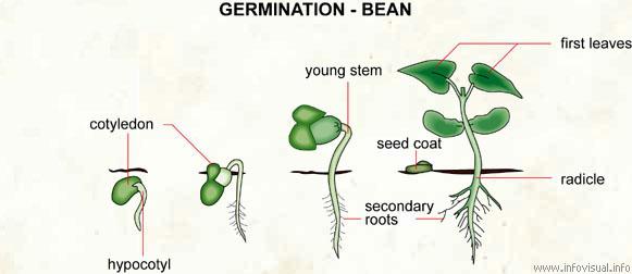 Sebze Biyolojisi